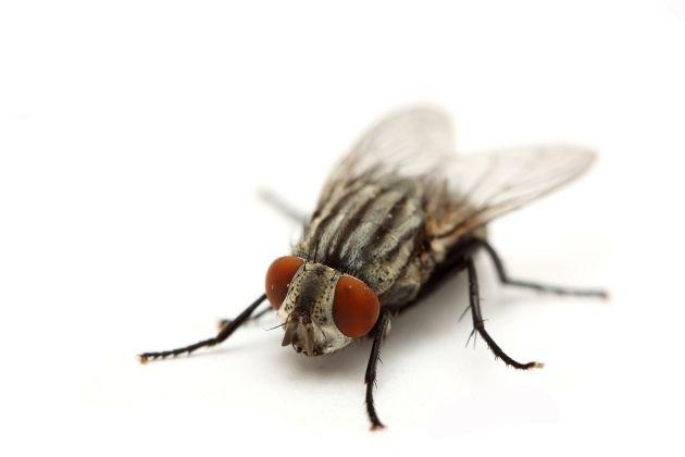 mosca - Como se livrar das moscas? Veja 7 dicas!