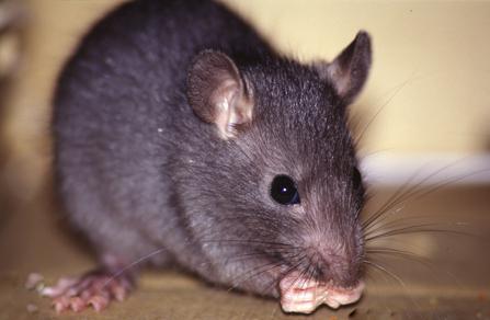 rattus - Como se livrar de ratos?