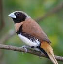 aves de raça e exóticas