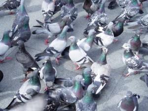 doença do pombo