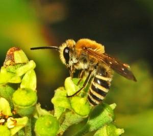 Conheça as abelhas brasileiras