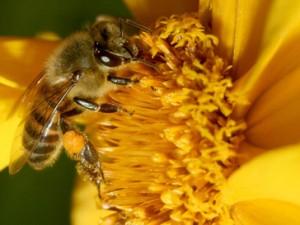 abelhas curiosidades
