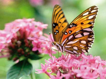qual o tempo de vida de uma borboleta?