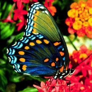 Borboletas brasileiras: as borboletas do Brasil