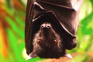 Como os morcegos dormem?