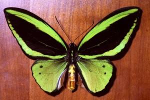 Conheça as borboletas gigantes