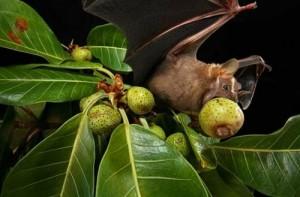 morcegos frutíferos