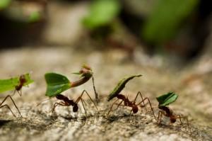 Formigas venenosas