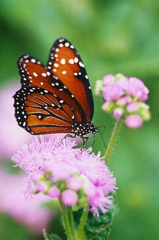 A reprodução das borboletas
