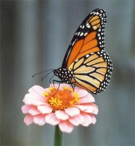 O ciclo de vida de uma borboleta