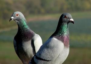 Pombos: conheça os riscos que eles trazem para a saúde