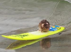 Rato Surfista