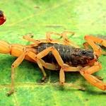 Escorpião – Conheça essa praga