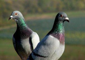 Controle Integrado de Pragas-pombo