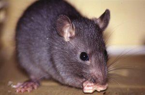 Controle Integrado de Pragas-rato