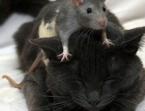 Eliminar Ratos – Vantagens e Desvantagens