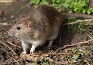 65326 004 AA63944E 300x209 - Eliminar Ratos – Vantagens e Desvantagens