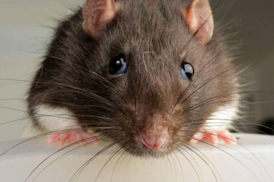 size 960 16 9 rato1 - Desratização