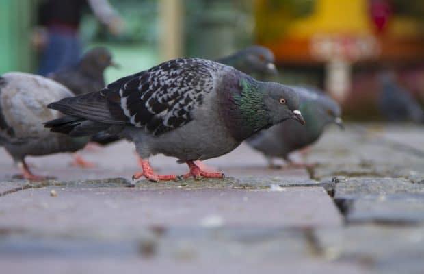 pombos - Por que os pombos são um problema?